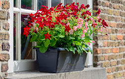 Dark gray plastic flowerpot with flowering petunia plants Stock Photo