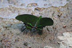 Dark green butterfly on sand royalty free stock image