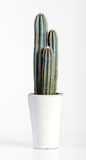Dark Green Cactus Plant on White Pot Stock Photography