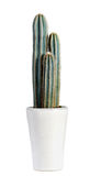 Dark Green Cactus Plant on White Pot. Close up Dark Green Cactus Plant on White Pot Isolated on White Background Stock Images