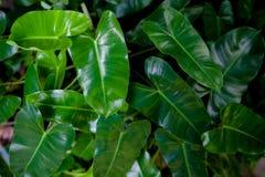 Alocasia , Kris Plant or Elephant Ear. Dark Green color leaf background is Alocasia , Kris Plant or Elephant Ear Stock Image