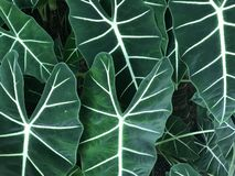 Dark green color leaves of elephant ear plant. In full frame in day light, using for background stock photo