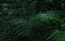 Dark Green Fern Leaves. In the forest - natural background. Space for copy, selective focus Royalty Free Stock Image