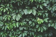 Dark green foliage, Green leaves background, pattern, texture. Toned Stock Photography
