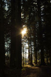 Dark green forest with a path between trees at sunrise. Royalty Free Stock Photos