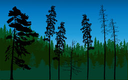 Dark green forest from pines Royalty Free Stock Image