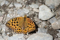 Dark Green Fritillary Royalty Free Stock Photos