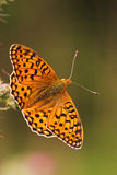 Dark green Fritillary. Photo of an orang/yellow butterfly with striking black wing pattern. The subject is in sharp focus with the dark green background out of Stock Photography