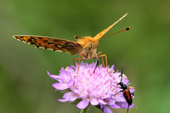 Dark green fritillary Stock Photo