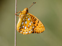 Dark Green Fritillary (Argynnis aglaja) Butterfly resting on a s Royalty Free Stock Photography