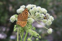 Dark Green Fritillary butterfly Argynnis aglaja Royalty Free Stock Photography