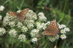 Dark Green Fritillary butterfly Argynnis aglaja Stock Photography