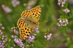 Dark green fritillary butterfly sitting on the heather in the forest. Insect with orange wings Royalty Free Stock Photos