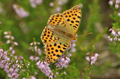 Dark green fritillary butterfly sitting on the heather in the forest. Insect with orange wings Stock Images