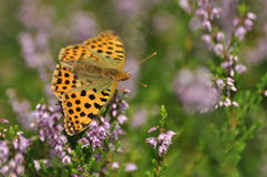 Dark green fritillary butterfly sitting on the heather in the forest. Insect with orange wings with black spots. Stock Photography