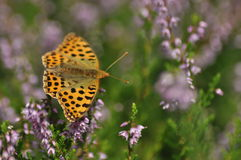 Dark green fritillary butterfly sitting on the heather in the forest. Insect with orange wings with black spots. Royalty Free Stock Photography