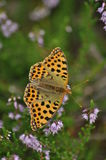 Dark green fritillary butterfly sitting on the heather in the forest. Insect with orange wings with black spots. Dark green fritillary butterfly sitting on the Royalty Free Stock Photography