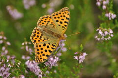Dark green fritillary butterfly sitting on the heather in the forest. Insect with orange wings. With black spots royalty free stock images
