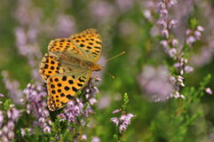 Dark green fritillary butterfly sitting on the heather in the forest. Insect with orange wings. With black spots stock photography
