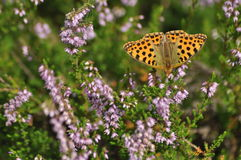 Dark green fritillary butterfly sitting on the heather in the forest. Insect with orange wings. With black spots royalty free stock photography