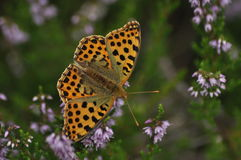 Dark green fritillary butterfly sitting on the heather in the forest. Insect with orange wings Royalty Free Stock Photo