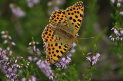 Dark green fritillary butterfly sitting on the heather in the forest. Insect with orange wings Royalty Free Stock Photography