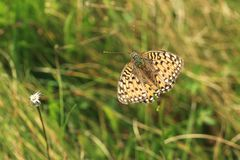 Dark green fritillary stock image