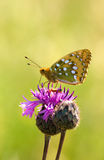 Dark green fritillary on thistle Royalty Free Stock Image