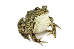 Dark green frog. On white background Royalty Free Stock Image