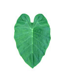 Dark green heart leaf from tropical in Asia Royalty Free Stock Photo