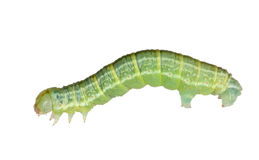 Dark green isolated caterpillar Royalty Free Stock Images