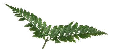 Dark green isolated fern branch Royalty Free Stock Photos