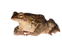 Dark green isolated frog Royalty Free Stock Image