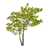 Dark green isolated maple tree Royalty Free Stock Images