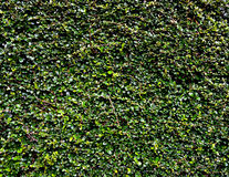 Dark green leaf texture. Small dark green leaf texture Stock Photo