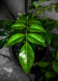 The dark green leaves royalty free stock images