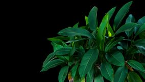 Dark green leaves of Heliconia the tropical foliage plant bush g royalty free stock photo