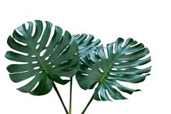 Dark green leaves of monstera or split-leaf philodendron Monste stock photography