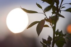 Dark green leaves of plant on copy space background of bright evening sky and big white sun.  royalty free stock photo