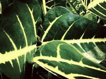 Dark Green Leaves with yellow white core background texture Royalty Free Stock Photo