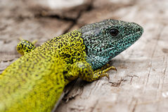 Dark green lizard (Lacerta schreiberi) in Madrid mountains, Spain Stock Photos
