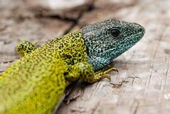 Dark green lizard (Lacerta schreiberi) in Madrid mountains, Spain Stock Photos