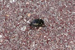 Dark green Mediterranean beetle walking on red public gravel path. On warm sunny day stock images