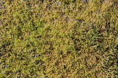 Dark green moss, texture for background. Royalty Free Stock Photos