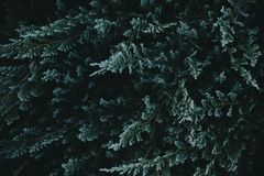 Dark green nature background from above. Top view of coniferous tree branch. Creative ecology textured pattern layout. Abstract plant wallpaper stock photography