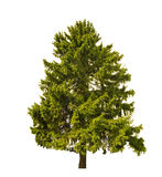 Dark green old fir on white Royalty Free Stock Photo
