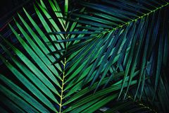Dark green palm leaf texture background, tropical jungle tone concept. Copy space royalty free stock photos