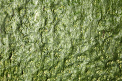 Dark green seaweed Stock Photography