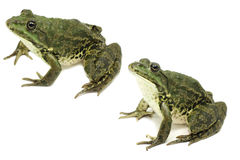 Dark green speckled frog Royalty Free Stock Photo