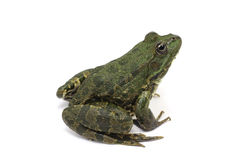 Dark green spotted frog Royalty Free Stock Photography
